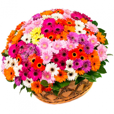101 gerbera mix in the basket photo