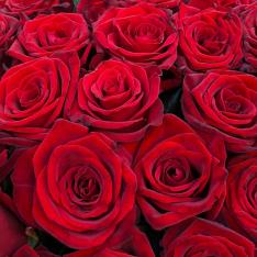 101 красная роза 60 см фото