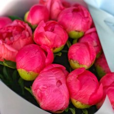 19 coral peonies photo