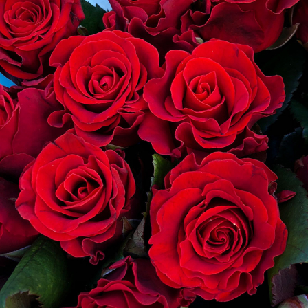 25 red roses 50 cm photo