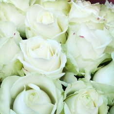 31 white rose 60 cm photo