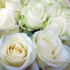 33 white rose 60 cm photo
