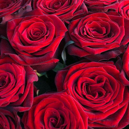33 red roses 60 cm photo
