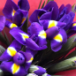 39 сине-фиолетовых ирисов фото