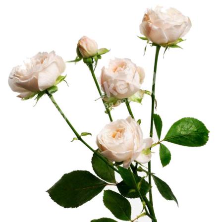 Бежевая роза спрей 60 см фото
