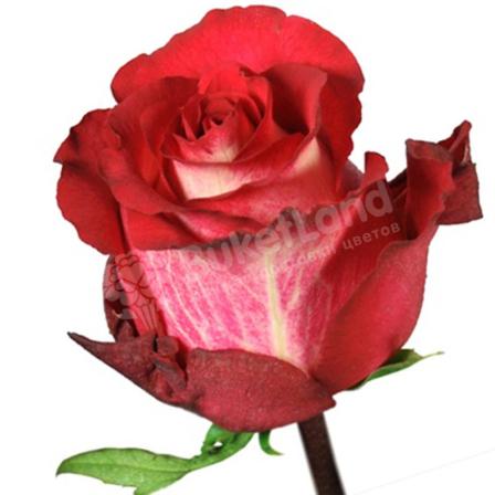 Эквадорская роза 60 см в ассортименте фото