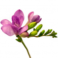 Freesia in assortment photo
