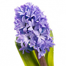 Hyacinth in assortment photo