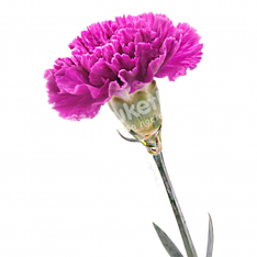 Carnations in assortment photo