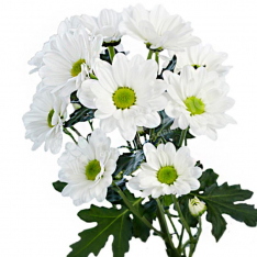 Chrysanthemum in assortment photo