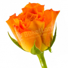 Kenyan rose 50 cm in stock photo