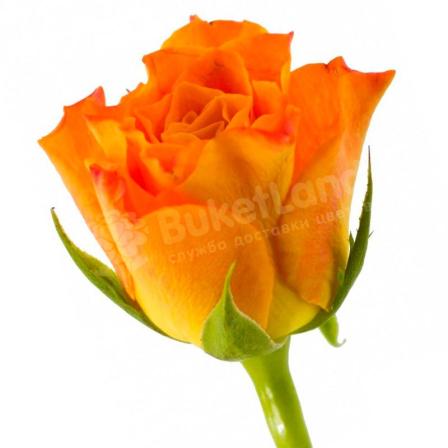 Кенийская роза 50 см в ассортименте фото