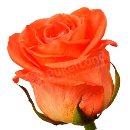 Коралловая роза Вау 60 см фото