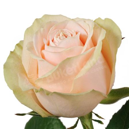 Кремовая роза Талея 60 см фото