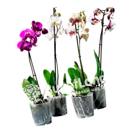 Орхидея Фаленопсис 1 ствол фото