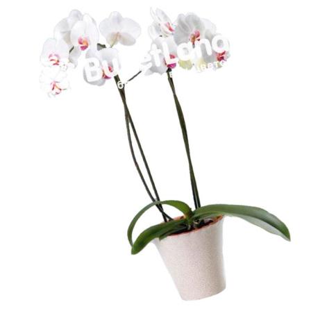 Орхідея Фаленопсис 2 стовбура фото