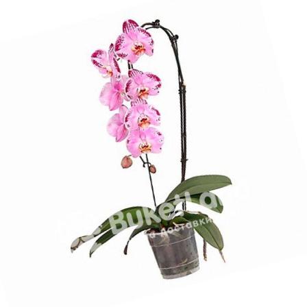 Орхідея Фаленопсис каскадний фото