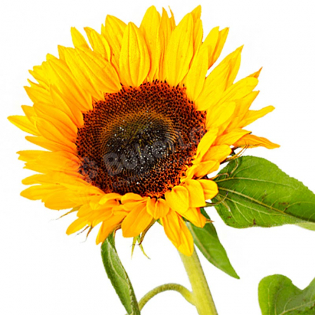 Соняшник фото