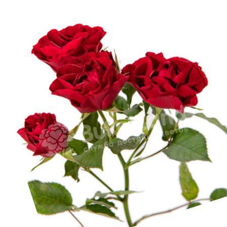 Роза спрей 60 см в асортименті фото