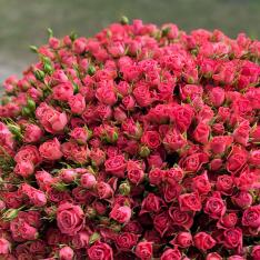 101 розовая роза спрей фото