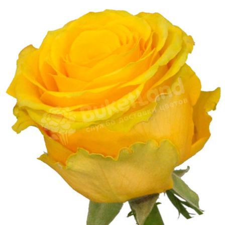 Жёлтая роза Пенни Лейн 60 см фото