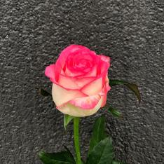 Роза Джумілія фото