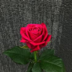 Троянда Шангрі Ла фото