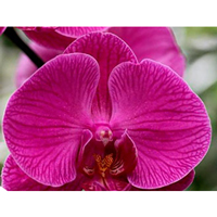 Proper care of the orchid at home