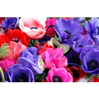 Trembling exotic flowers: anemones, freesias, Ranunculus