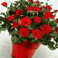 Розы в горшочках: особенности ухода