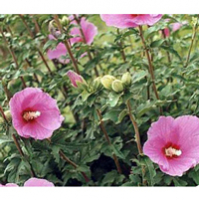 All about rose Sharon