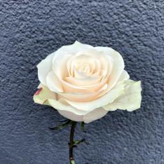 Голландская белая роза Мондиаль 80 см фото