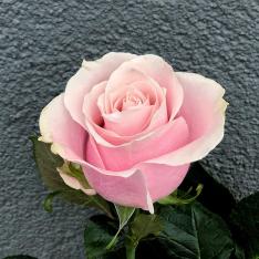 Голландская розовая роза Пинк Мондиаль 80 см фото