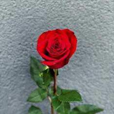 Голландская роза Freedom 80-90 см фото