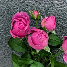 Кустовая розовая роза Мисти Баблз 50-60 см фото