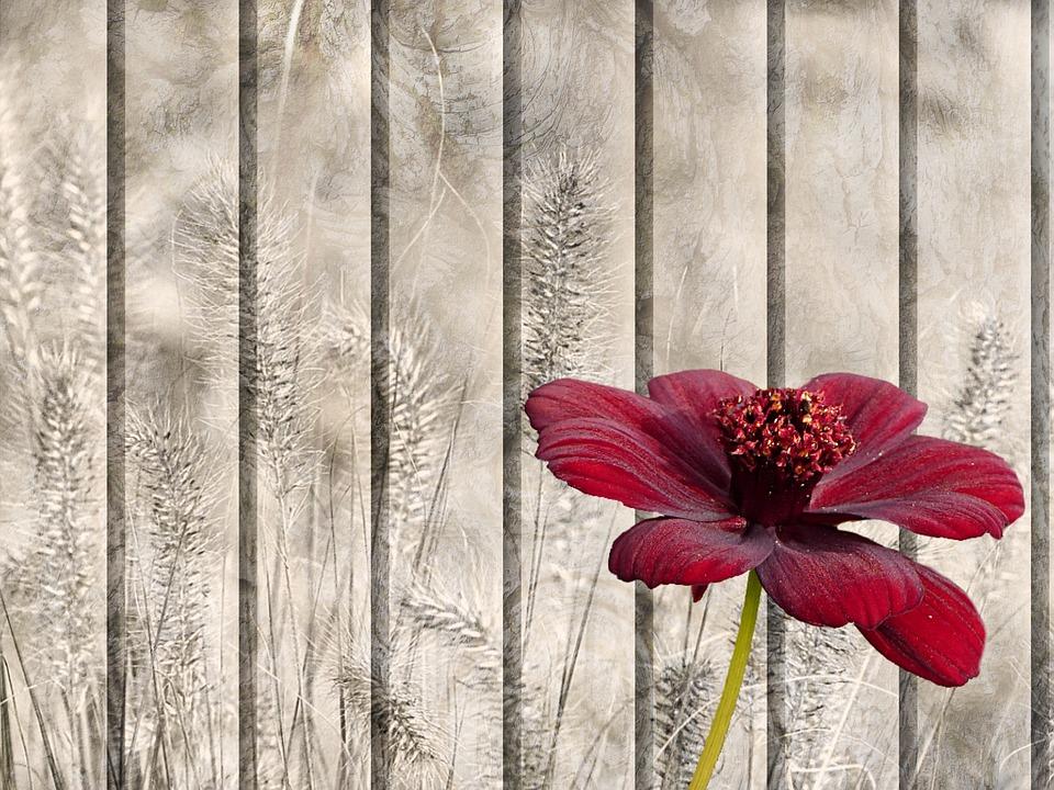 цветок шоколадная космея
