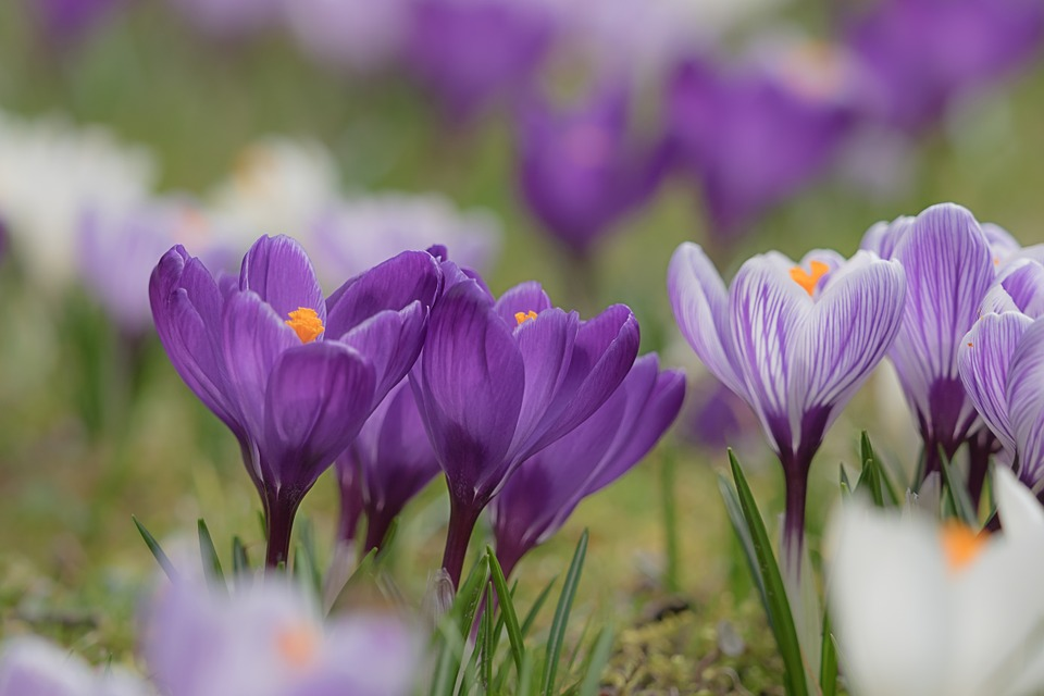цветок фафран