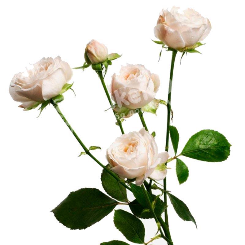 Бежевая роза спрей 60 см
