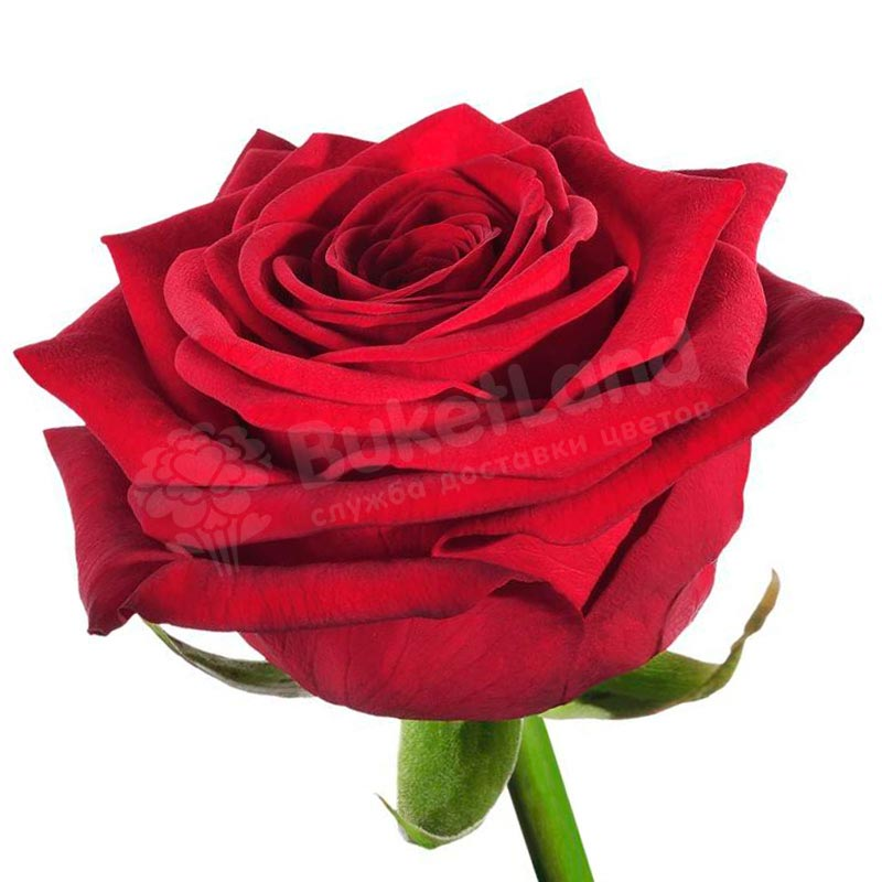 Красная роза Гран При 60 см