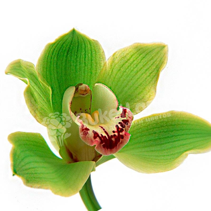 Орхидея Цимбидиум ассортименте