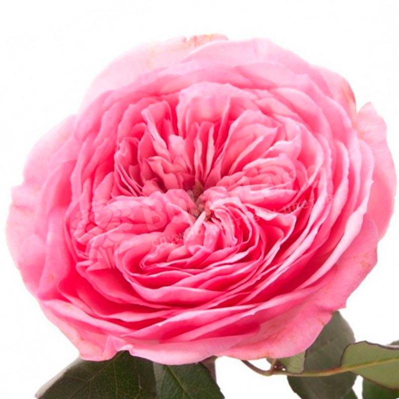 Пионовидная роза в ассортименте