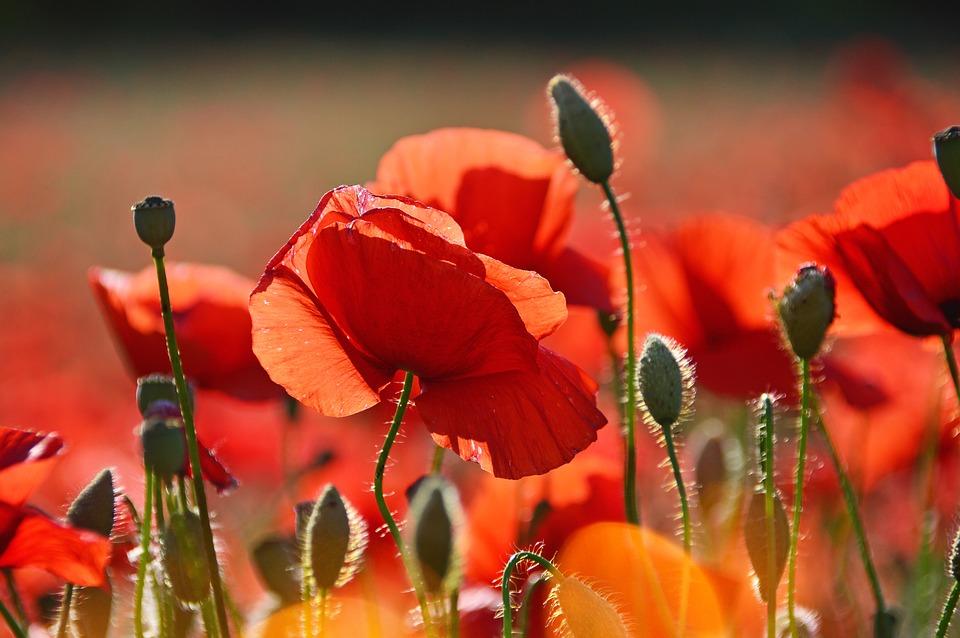цветы красные маки восточные
